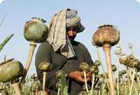 Производство опиума в Афганистане